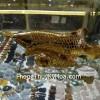 Cá kim long vàng nhỏ H292G