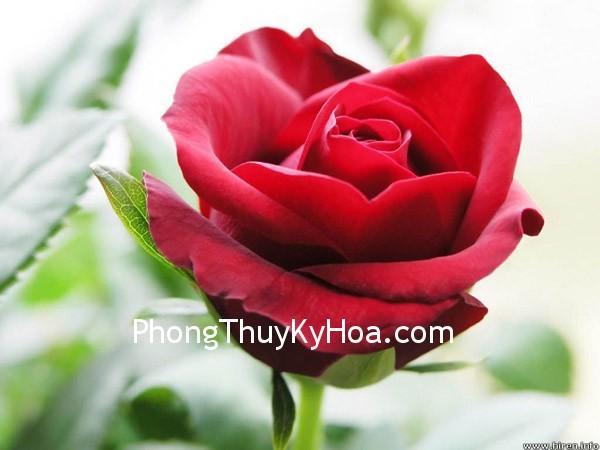 Hình ảnh hoa hồng nhung đẹp 402 Kích hoạt cung tình duyên theo phong thủy