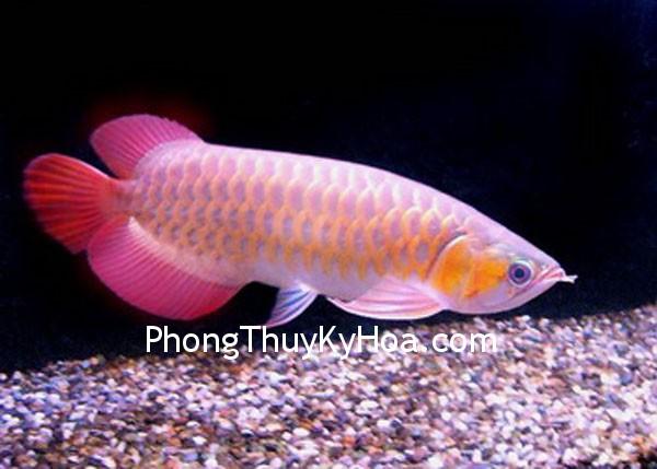 cavang1 Lợi ích khi nuôi cá kim long