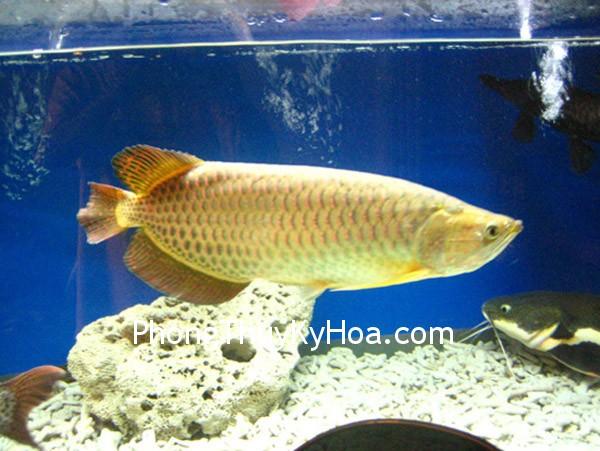 img1747qn61 Lưu ý khi nuôi cá Kim Long