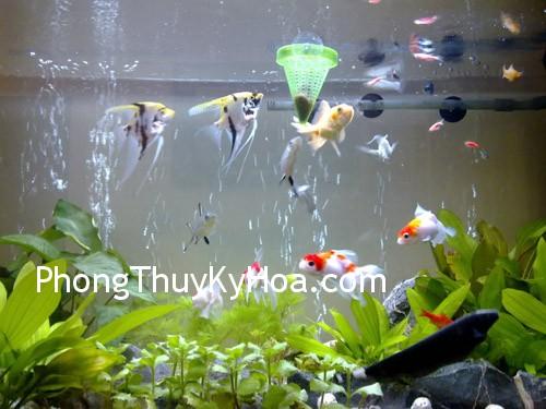 xqz1326079459 Nên nuôi bao nhiêu cá