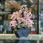 KC120 cay thach anh hong dang bonsai 2 150x150 Cây thạch anh hồng thân bonsai chậu kiểu nhật mới (Phước) KC120